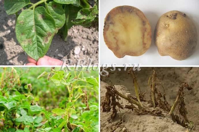 Фото листьев и клубней картофеля, пораженных фитофторой