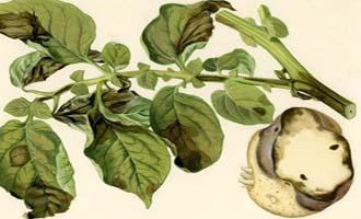 Фитофтора на картофеле как бороться описание и лечение с фото