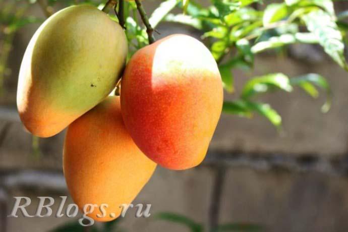 Спелые плоды манго на ветке
