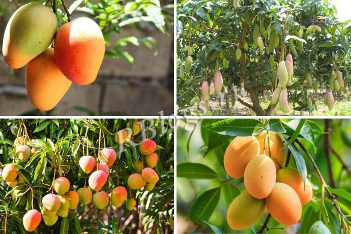 Плодоносящие манговые деревья