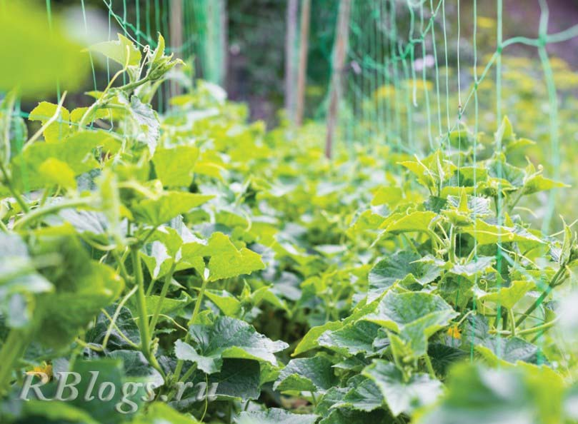 Подкормка огурцов улучшает рост растения