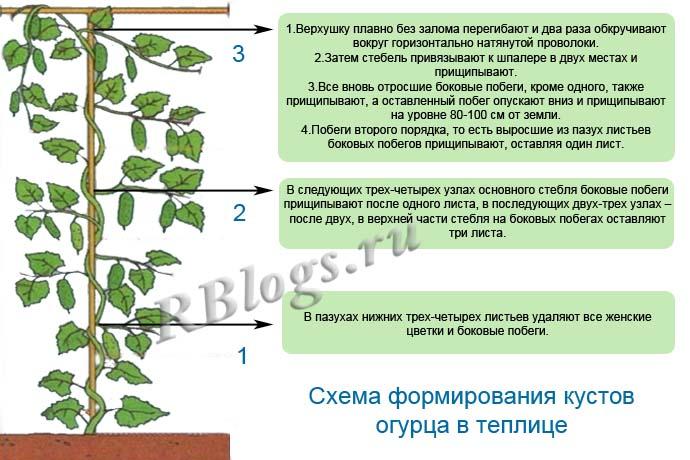 Схема формирования кустов огурца в теплице