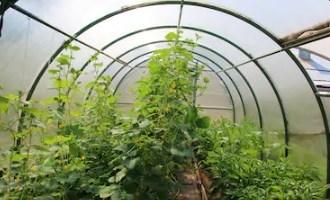 Как выращивать и ухаживать за огурцами в теплице из поликарбоната