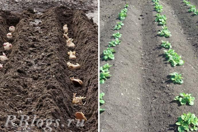 Всходы раннего картофеля через 2-3 недели после посадки