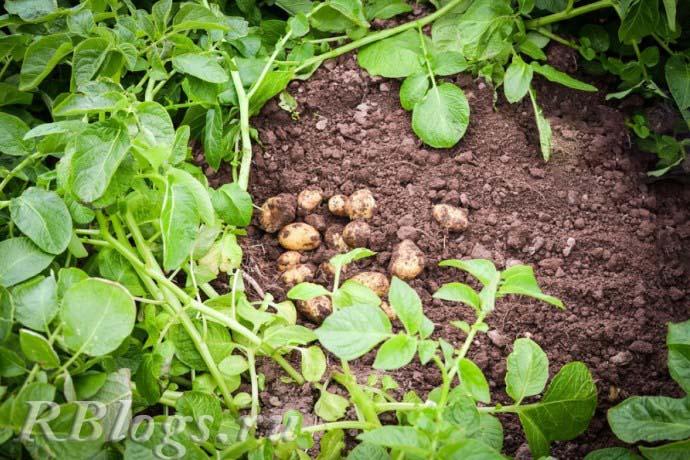 Подкопанный куст раннего картофеля