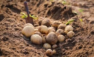 Молодая картошка польза и вред как прорастить и когда сажать