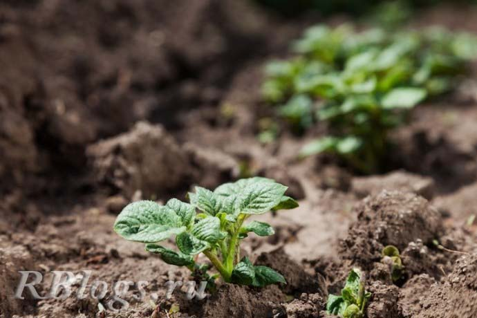 Высаженная в открытый грунт рассада картофеля