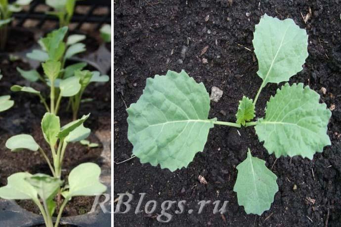 Рост рассады савойской капусты