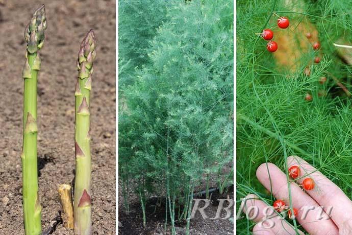 Как растет спаржа (Asparagus officinalis) – фото