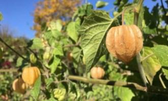 Как вырастить физалис из семян: посев и уход