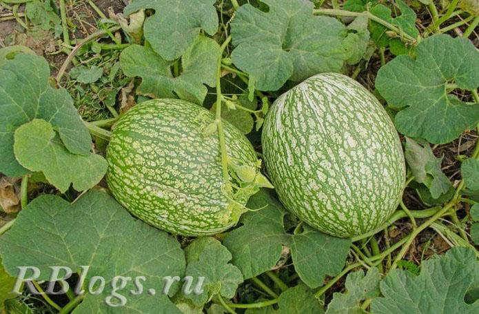На фото два плода фиголистной тыквы
