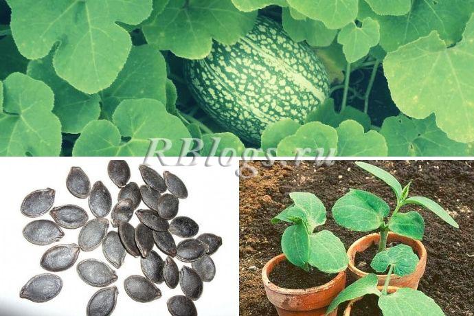 Семена и рассада фиголистной тыквы