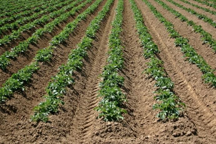 На фото ряды картофеля после окучивания