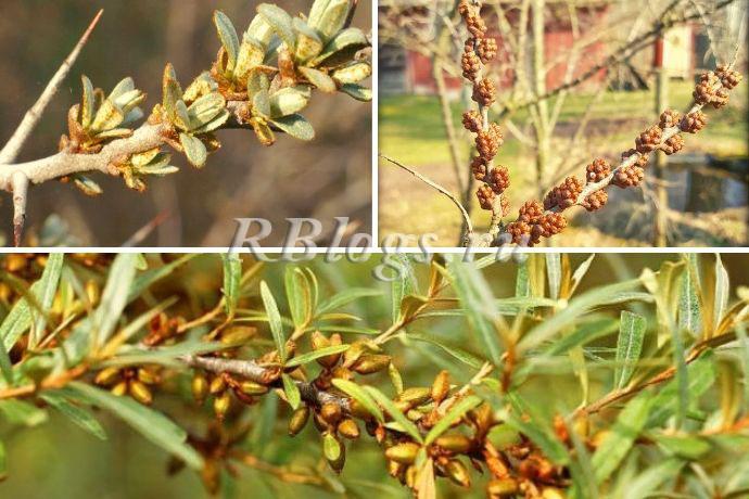 Мужские (производящие пыльцу) и женские (плодоносящие) цветки облепихи