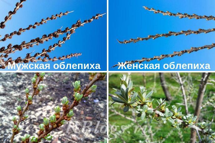 На фото отличие облепихи мужского и женского растения