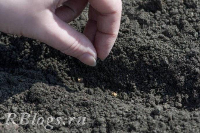 Процесс посадки свеклы в открытый грунт семенами