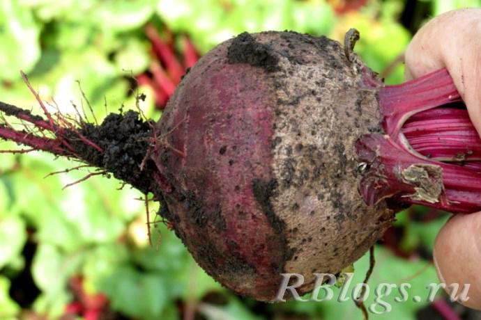 Выкопанный корнеплод свеклы в руке