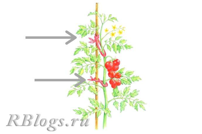 На фото способы подвязки высокорослых томатов
