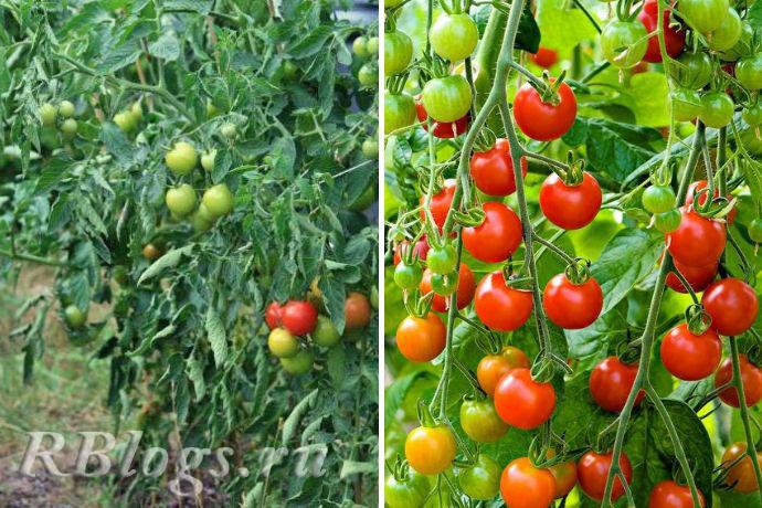 Фото высокорослых томатов с красными плодами