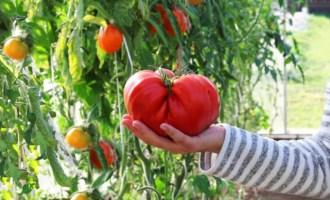 Когда сажать высокорослые помидоры на рассаду лучшие сорта урожайность