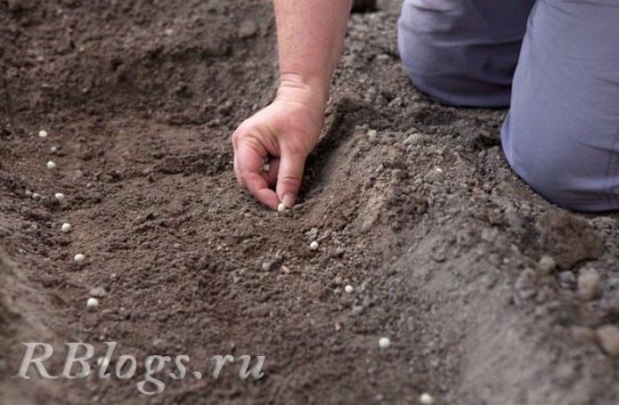 На фото схема посадки семян гороха в открытый грунт