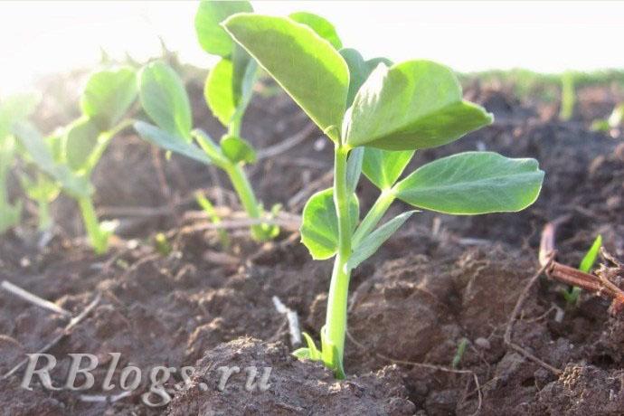 На фото молодые растения гороха высотой 15-20 см.