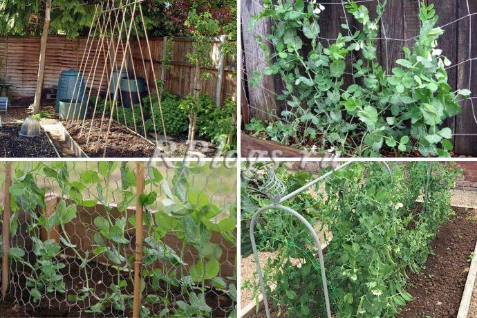 На фото 4 варианта подвязывания гороха