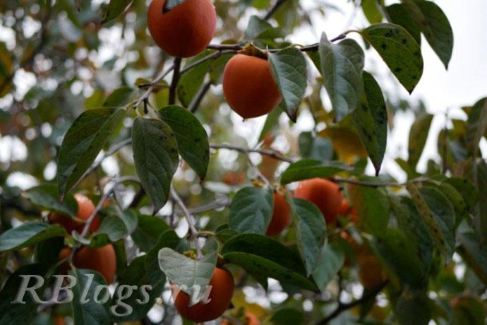 Фото дерева хурмы с плодами