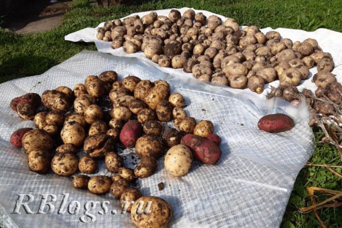 Клубни картофеля, разложенные на ткани для просушки