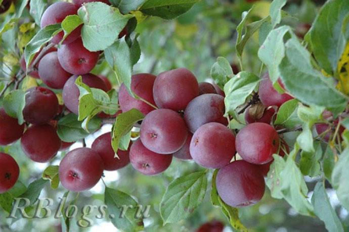 Сорт яблони-Китайки Керр