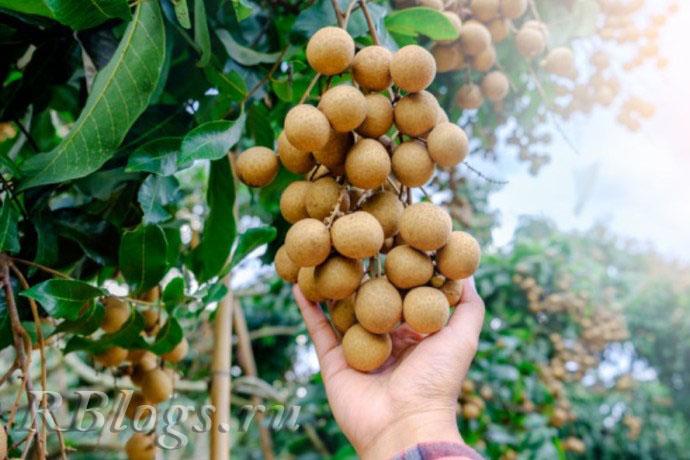 На фото ветка лонгана с плодами