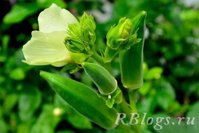 Растение бамия с цветком и стручками