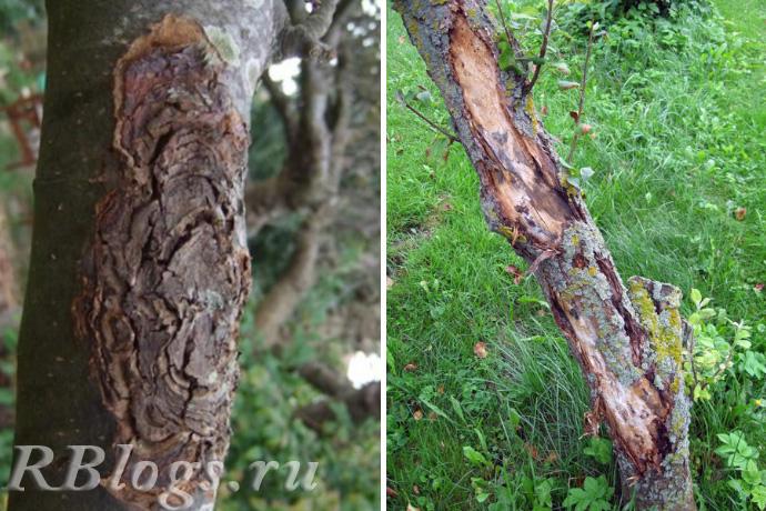 Стволы яблони пораженные черным и обыкновенным раком