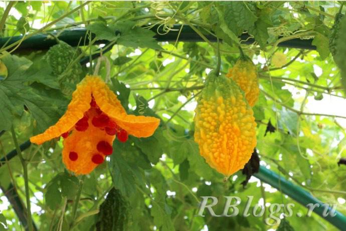 Зрелые плоды момордики, растущие на лиане