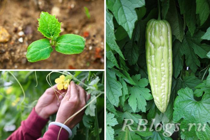 Всходы, цветение и плодоношение момордики