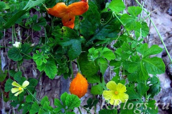 Растущая момордика с цветами и плодами