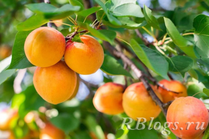 Спелые плоды абрикоса на ветке