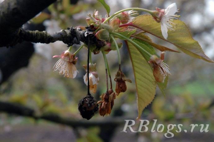 На фото монилиоз вишни