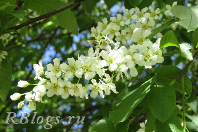 Цветущая ветка черемухи