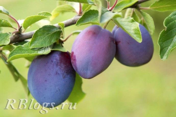 Плоды сливы Венгерка