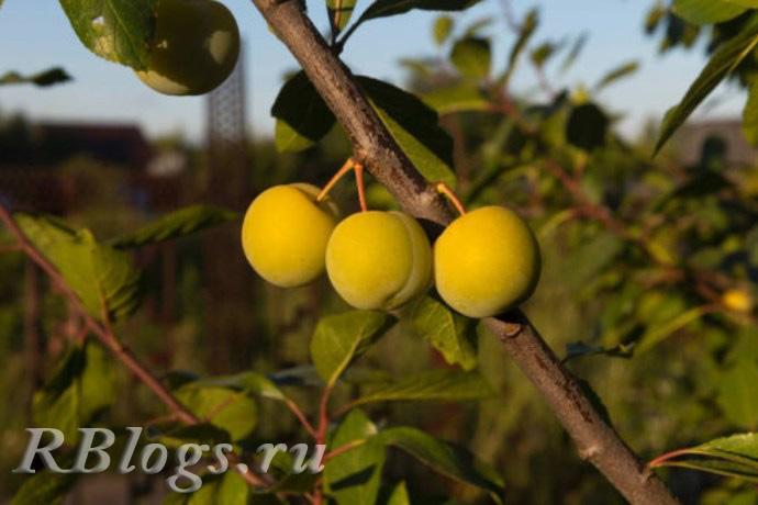 Плоды сливы Ренклоды