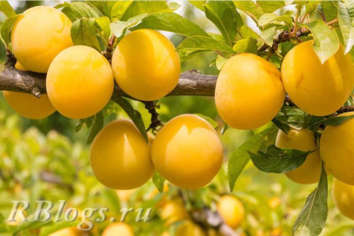 Плоды сливы Мирабели