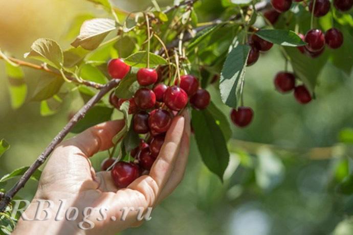 Сорт вишни степной Иртышская