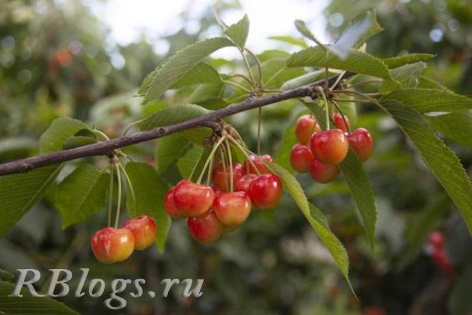 Сорт вишни степной Вузовская