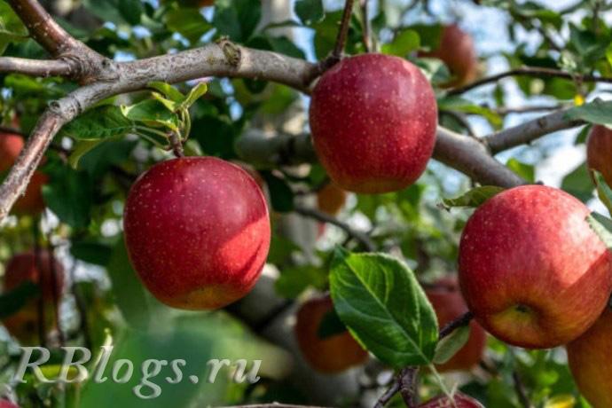 Яблоки сорта Брусничное на ветке