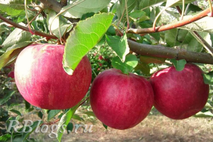 Яблоки на ветке сорта Слава переможцам (Слава победителям)