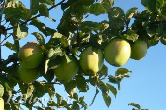 Яблоки на ветке яблони сорта Синап белорусский