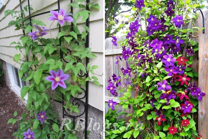На фото цветущие клематисы