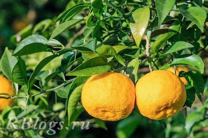 Спелые плоды юдзу на дереве
