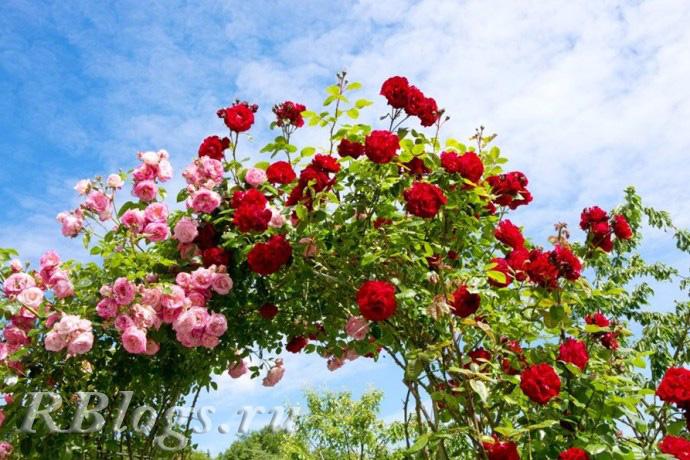 Арка из плетистой розы